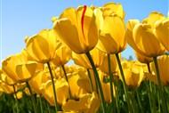 tulipasssss